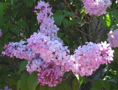 Liliacsinbloom