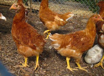 Communitychickens