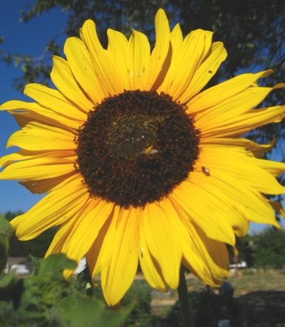 Thesunflowerwithbees