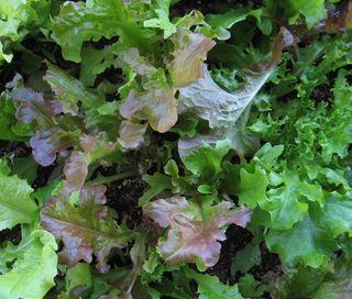 Lettuceinourpatiogarden