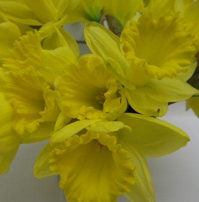 Yellowdaffies
