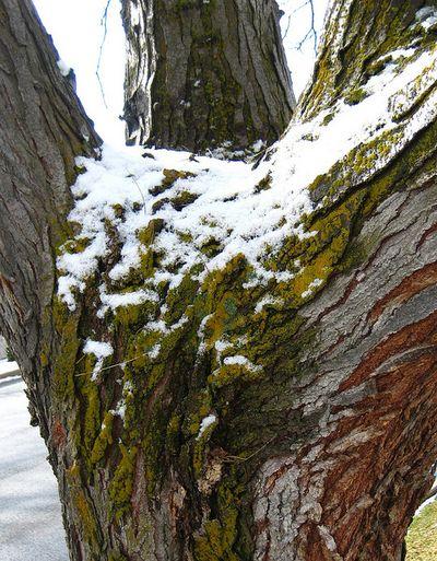 Mossysnowtree