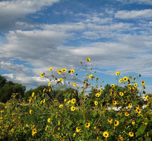 Yellowsunflowersbluesky