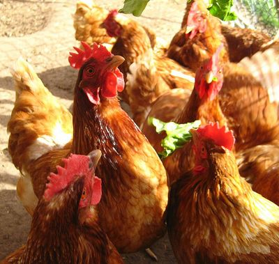 Happychickens