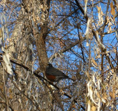 Robinintrees