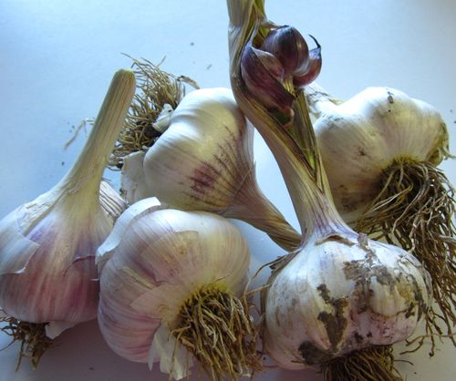 Beautifulhardandsoftgarlic