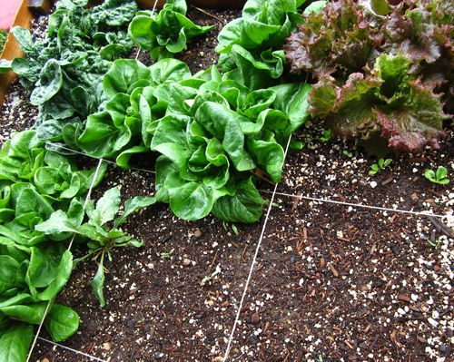 Lettucegrowingwell