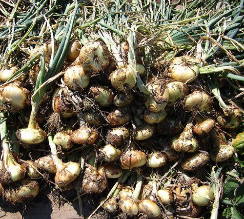 Garlicfromgarden