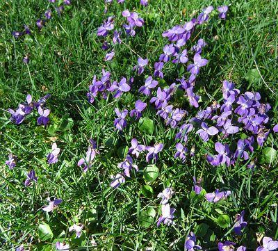 Violetsinthegrass
