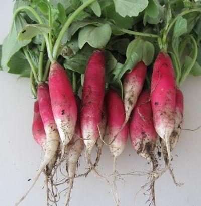 3harvestedbreakfastradishes