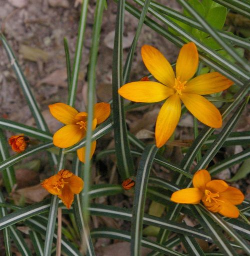 Lateorangecrocus