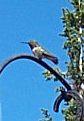 Broadtailbird
