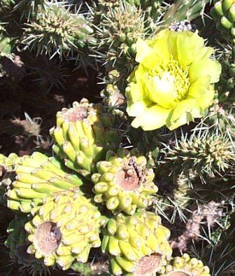 Cactiflowersyellow