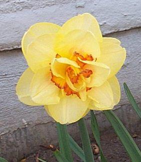 Yellowjonquilinapril