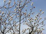 Blossomsontreesarepoppinglikepopcor
