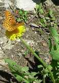 Butterflyonofallthingsadandylion_2