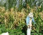 Thecornisspentbutthescarecrowisstil