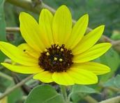 Beautifulsunfloweronlastleg_2
