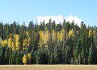 Patchofgoldenaspensinkiababforest