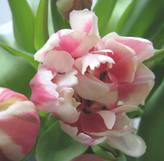 Pinktulipsarepurespring