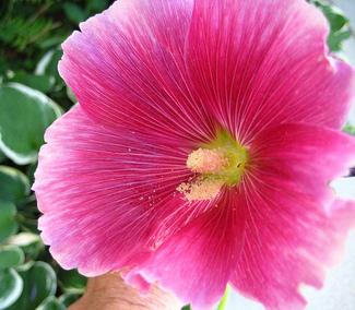 Flowerfridayhollyhockforkim