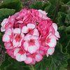 Geraniumflowers
