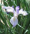 Irisatsilrfklk