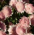 Pinkmumsinneighborsgarden