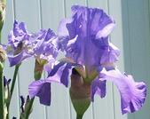 Purpleiris_1