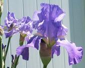 Purpleiris_1
