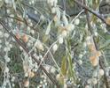 Whiteberriesthatleavefluffywhitebehind