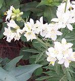 Whiteflowersinbunches