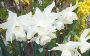 Whiteminidaffodils