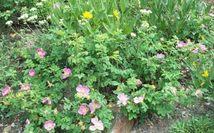Wildflowersinthealbionbasin_3
