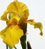 Yellowiris_2