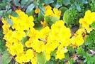 Yellowprimroses_1